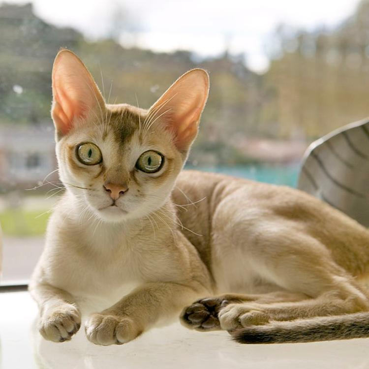 5 Most popular cat breeds with big and attractive eyes