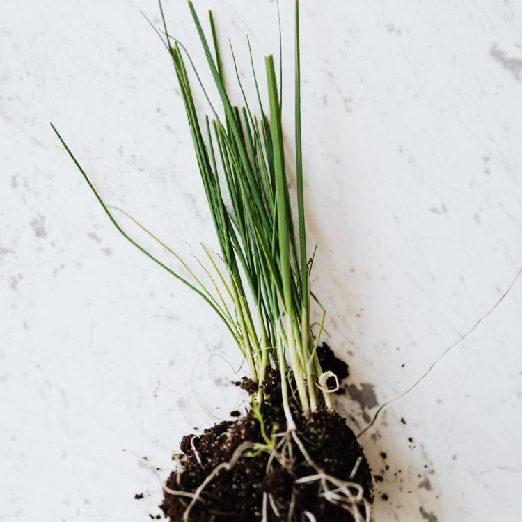 Chives vs Scallions: What's the difference between the two herbs?