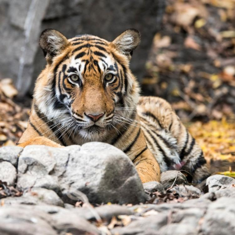 International Tiger Day 2020: What we can do to save the big cat?