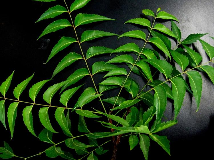 Skincare Tips: 5 ways to use NEEM for skincare