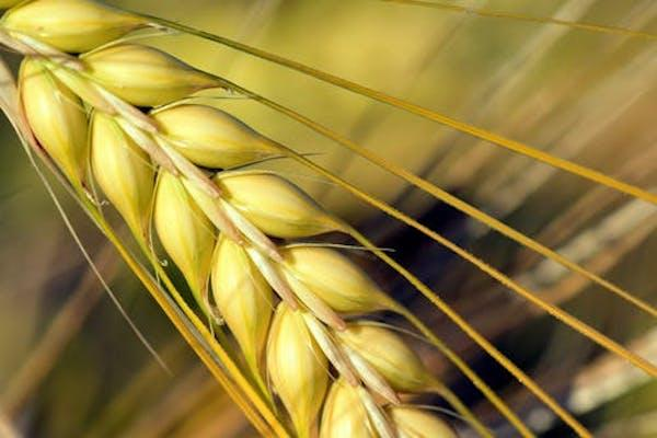 6 Health benefits of Barley water that can do wonders to your body