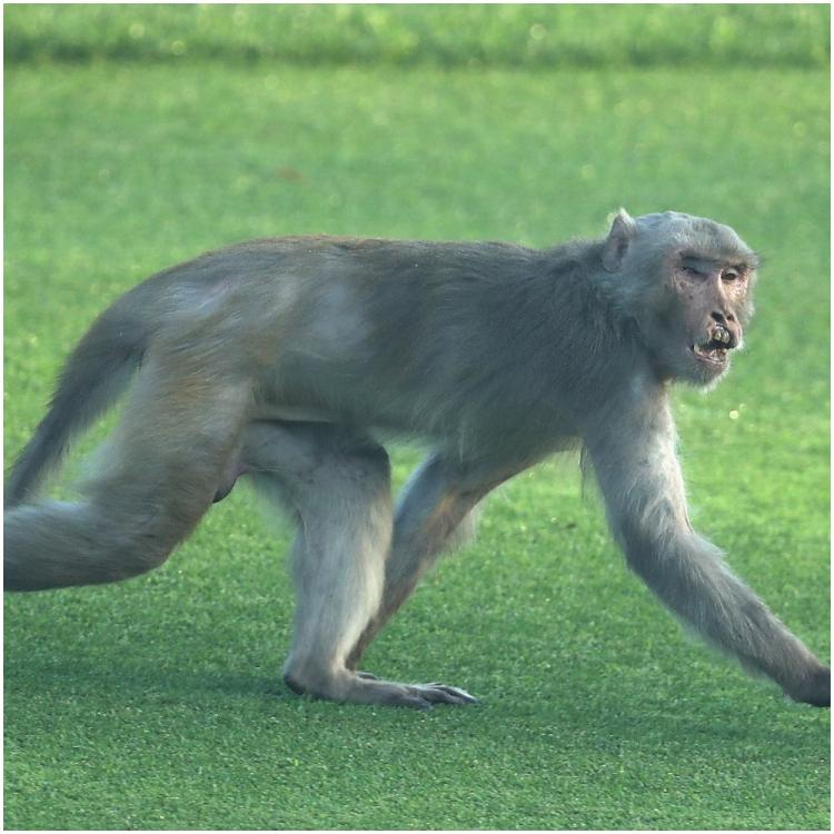 WATCH: Monkeys cause menace in Meerut as they snatch COVID 19 test samples from a lab tech