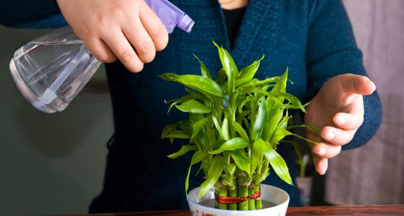 Lucky Bamboo Plant: Here's why keeping this plant at home brings health and prosperity