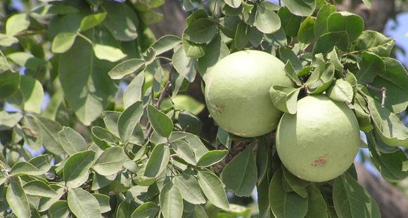 Wood Apple Health Benefits: Here's why THIS fruit is good for diabetic people