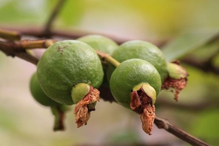 Diabetes: Here's how Guava can help you to manage blood sugar levels
