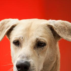 People,Dogs,Dog Breeds,Indian dogs