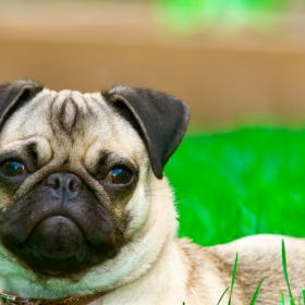 People,Small Dog Breeds,Pugs,Small Dogs